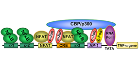 Model for the recruitment of inducer-specific TNF-α gene enhanceosome in T lymphocytes., Vol. 29, Iss.2, Viral Mechanisms Involved in the TranscriptionalCBP/p300 Regulation of Inflammat.....